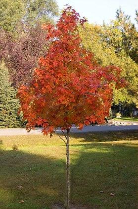 Tree Maple Matador 7 gal - 29673
