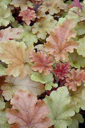 Heuchera 'Marmalade'  -  Coral Bells 1gal