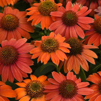 Echinacea 'Artisan Red Ombre ' - Coneflower 1gal