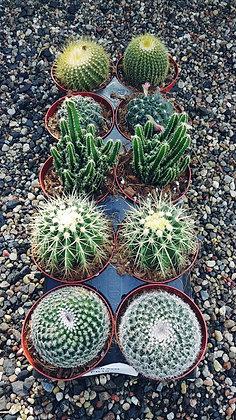 "Assorted 5"" Cacti"