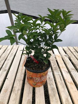 Citrus - Tangerine - 1 Gallon