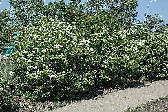 Viburnum trilobum   -  American Highbush Cranberry