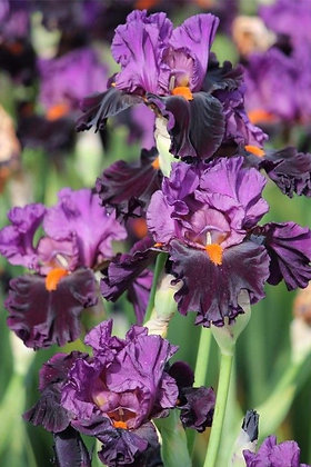 Iris germanica 'Sharp Dressed Man' - Tall Bearded Iris1gal