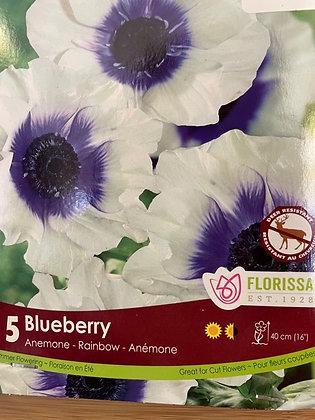 Bulb - Anemone Rainbow Blueberry - 5 Bulbs