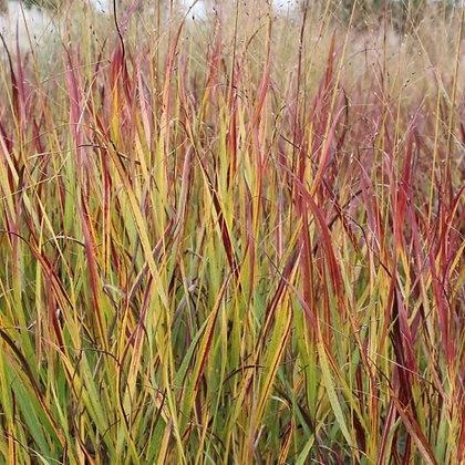 Grass Panicum virgatum 'Shenandoah' - Switch Grass  1gal