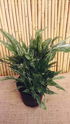 Spathiphyllum wallisii variegata  -  Peace Lily
