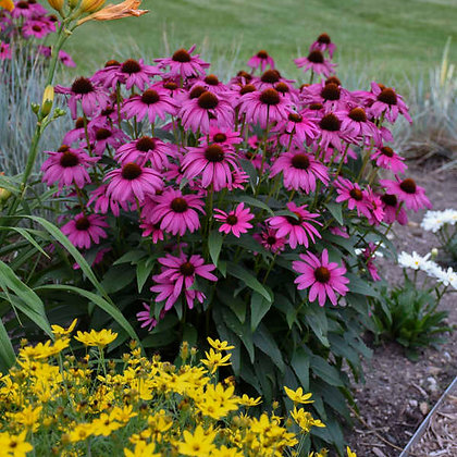 Echinacea 'Purple Emperor' - Coneflower 1gal