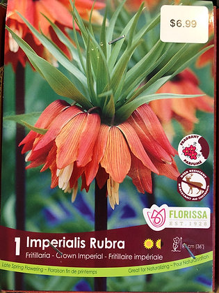 Fritillaria - Imperialis Rubra