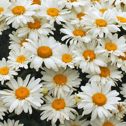 Leucantheum 'Whoops-A-Daisy'  1gal