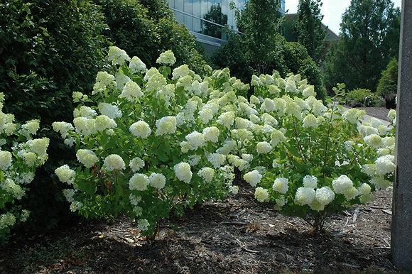 FS Hydrangea Limelight 3gal 40cm #15689