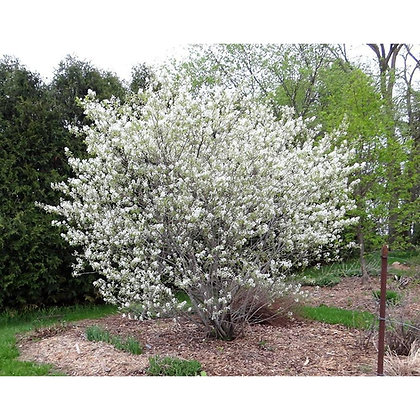 Amelanchier x grandiflora 'Autumn Brilliance'  -  Serviceberry