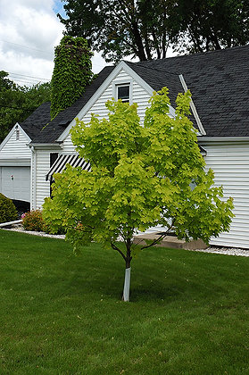 Tree Maple Princeton Gold 15gal 250cm #29596