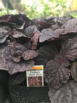 "Coleus - 3.5"" pot  (Please select variety)   (bs -)"