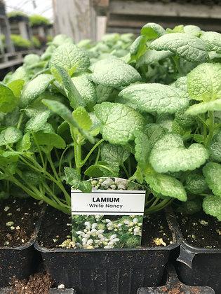 "Lamium White Nancy  - 3.5"" pot  (bs-)"