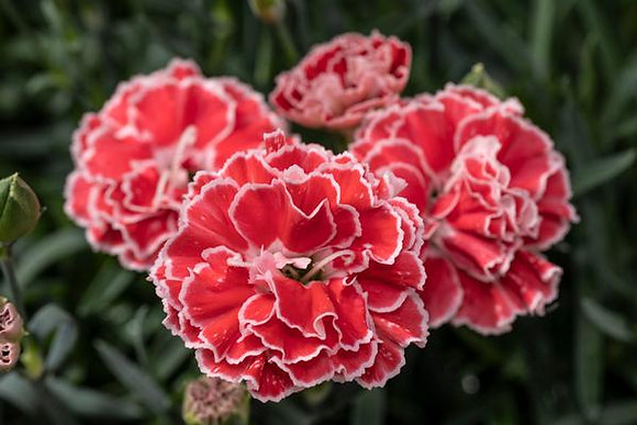 Dianthus 'Crush Orange'  1gal