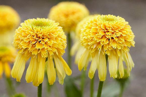 Echinacea 'Lemon Drop' - Coneflower 1gal