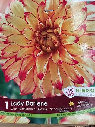Bulb - Dahlia Lady Darlene - 1 Bulb