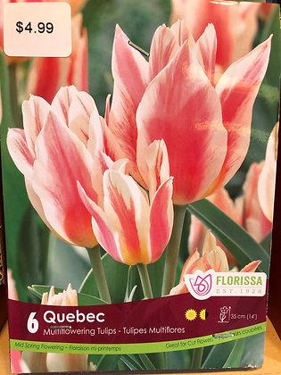 Tulip - Quebec