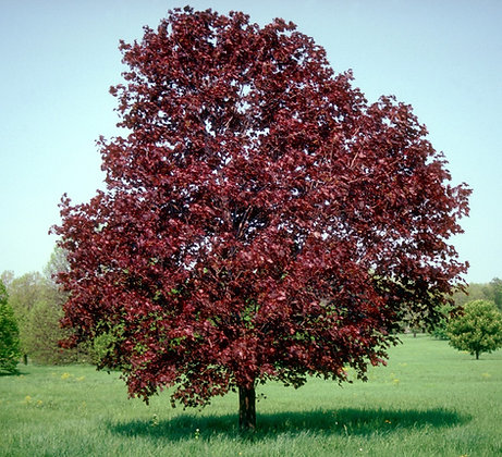 Acer platenoides 'Royal Red'  -  Maple