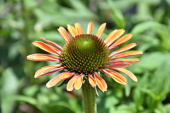 Echinacea Rainbow Marcella 1gal #27324