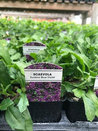 "Scaevola Blue Violet  - 3.5"" pot   (bs-)"