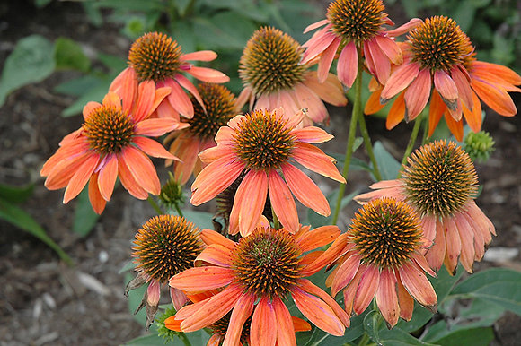 Echinacea 'Sombrero Adobe Orange'  1gal