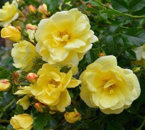 Rosa 'Carefree Sunshine' (Climbing) 2gal  R-