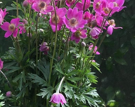 Anemone 'Spring Beauty' 1gal
