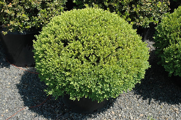 Buxus 'Green Mountain' - Boxwood