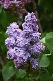 Syringa vulgaris 'President Grevy'  -  Lilac