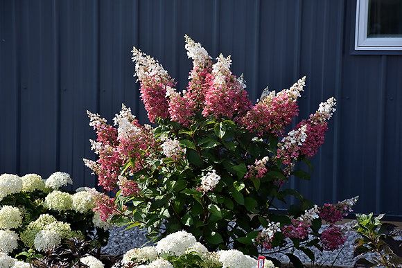 Hydrangea paniculata 'Pinky Winky'  -  Hydrangea
