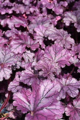 Heuchera 'Forever Purple' - Coral Bells 1gal