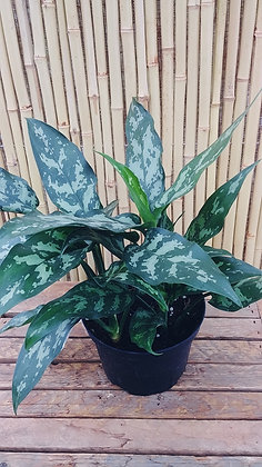 Aglaonema  'Maria' a.k.a. 'Emerald Beauty' Chinese Evergreen