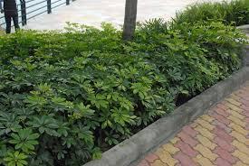 Schefflera  arboricola  -  Dwarf UmbrellaTree