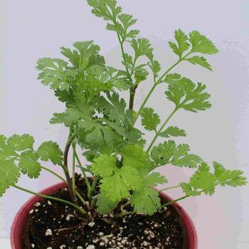Cilantro Organic  -  McKenzie  Seed