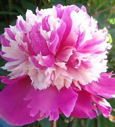 Paeonia 'Celebrity'  -  Poppy 1gal