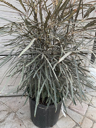 Plerandra elegantissima  -  False Aralia