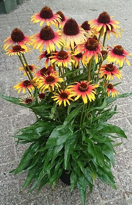 Echinacea 'Fine Feathered Parrot' - Coneflower  1gal