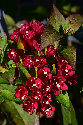 FS Weigela Maroon Swoon 2gal #25307