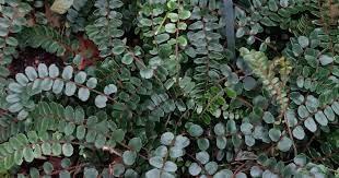Nephrolepsis cordifolia  -  Button Fern