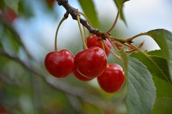 FT Cherry Montmorency 25cm #27058