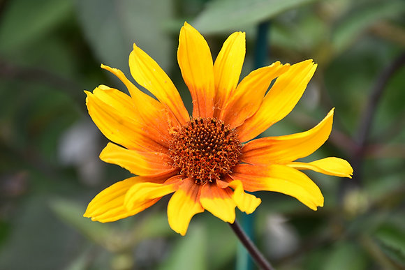 Heliopsis Burning Hearts 1gal #27347