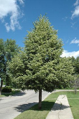 Tree Linden Greenspire 10gal 200cm #21328