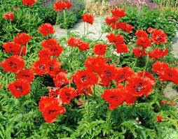 Poppy Oriental Turkenlouis 1gal #19626