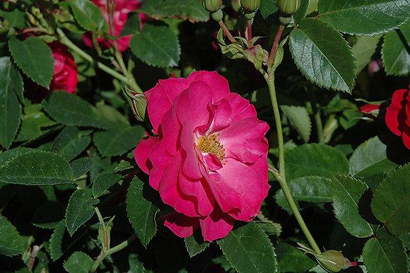 Rosa  'John Cabot'  (Explorer) 2gal R-