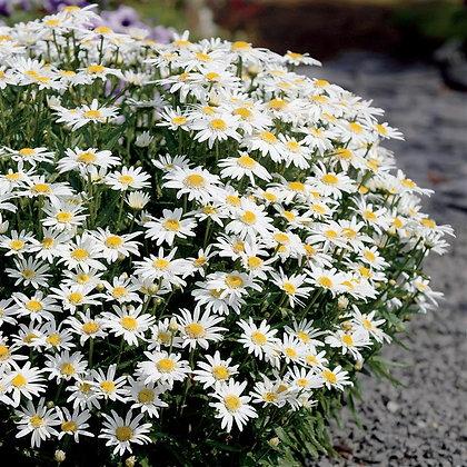 Leucanthium 'Carpet Angel Daisy'  -  Shasta Daisy 1gal