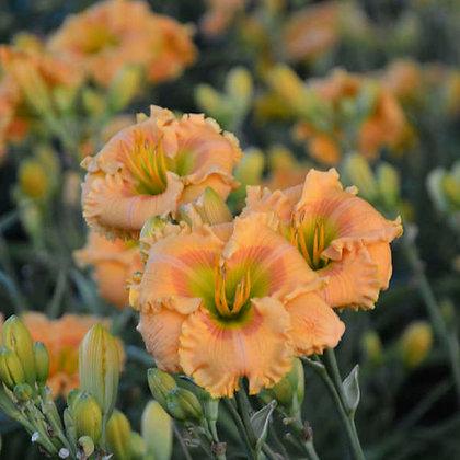 Hemerocallis  'Orange Smoothie' - Daylily 1 gal