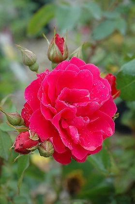 Rosa 'George Vancouver'  (Explorer) 2gal R-