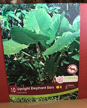 Bulb - Upright Elephant Ears