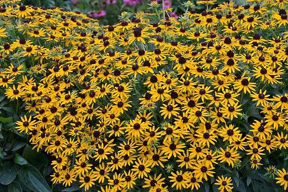 Rudbeckia 'Little Goldstar' -  Gloriosa Daisy 1gal